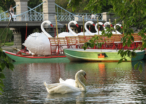Swan Boats by Ed Whitaker