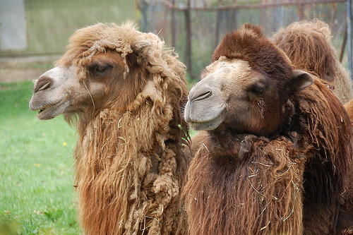Camels at the Franklin Park Zoo. Photo by Chris Devers