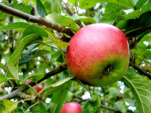 Cider Apple by Flickr User Steve Bridger
